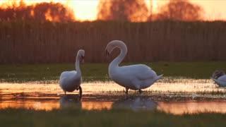 Swan lake beautiful view