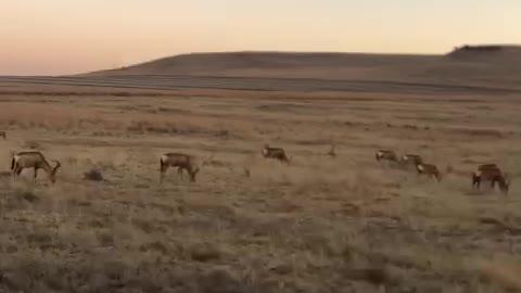 Hartbeest herd