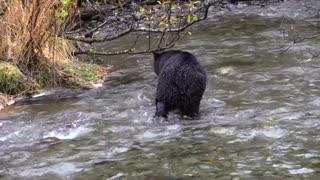 Black bear chasing Salmon Feeding Fish River full HD 2021