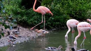 Beautiful pink flamingo birds in the lake