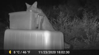 Close-up of gray fox