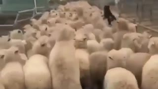 Dog running over flock of sheep