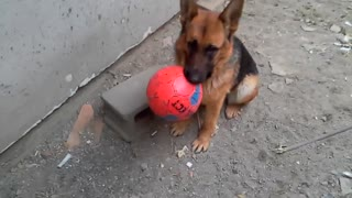 A dog playing with a ball