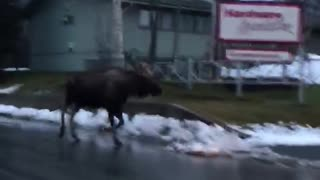 Bull Moose Follows Family