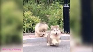 Baby Alaskan Malamute Cutest and Funniest Moments New Compilation | Try Not To Laugh