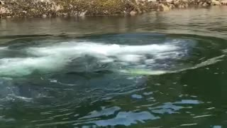Humpback Whale Feeding Using Bubble Traps Close to Dock