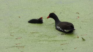 Common Gallinule feeds its chick in Florida swamp