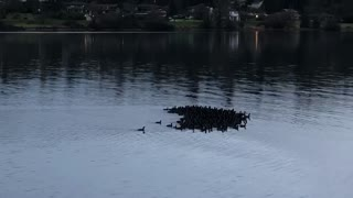 American Coots in Heart Formation