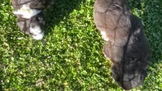 Australian Shepherd Puppies 2 Outside 12/20