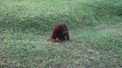 Orangutan attracted attention of zookeepers and trow carbine carabiner from a swing