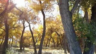 Cottonwood Forest Rio Grande River Fall Colors
