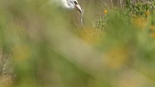 White Egret eating breakfast.