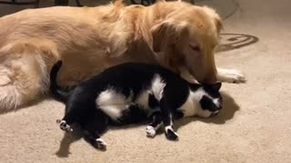 Cat Wants Love from Doggo