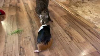 Cat plays with guinea pig