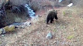 Grizzly Bear at Eagle Creek