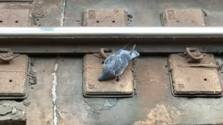 A Funny Pigeon Drinking out of the New York City Subway Track in Brooklyn