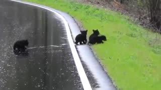 Mama Bear Helps Cubs Cross The Street