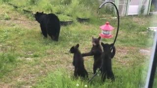 Mama Bear and Cubs Investigate Bird Feeder