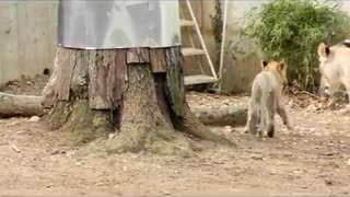 Lion knocks lion cub into the water