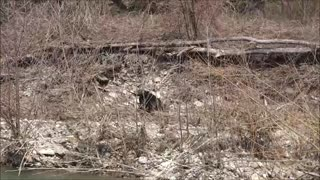 Hunting with field spaniel
