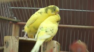 Cute romantic parrots