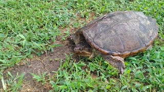 Dog versus snapping Turtle