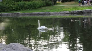 swan swimming in the river at the park
