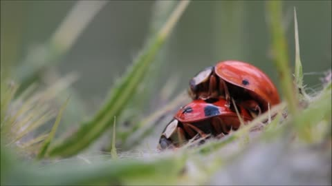 Two insects of ladybug make love in nature it's funny