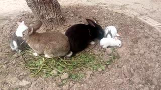 Domestic rabbit family