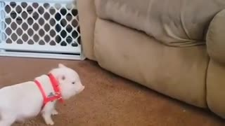 Perro y cerdo juega brindando al sofá