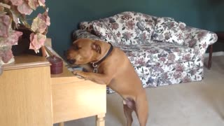 dog plays piano for mom - hilarious footage of dog 'playing' piano