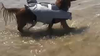 Dog dressed as shark at the beach