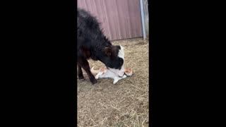 Incredible animal friendships: Cat & cow share special bond