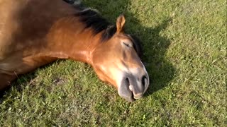 Sleeping Horse Caught Snoring Loudly