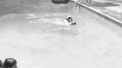 Boxer dog leaps into the pool! Summer fun