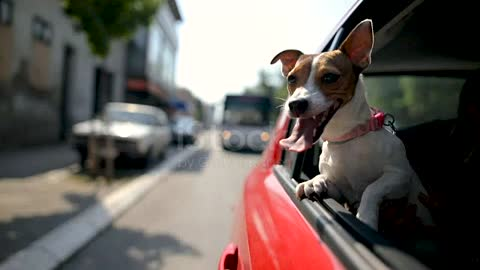 Jack russell terrier in a traffic jam stock video