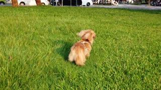 Dachshund Dog, Puppy, Dog