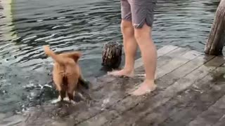 puppy falls off dock into lake while running around - excited dog falls into lake