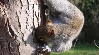 Squirrel on a tree eating HD