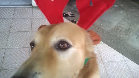 Dog models reindeer Christmas costume