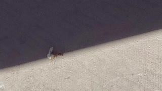Large Ant Falls Down Carrying Paper. He Fails Funny and Sad