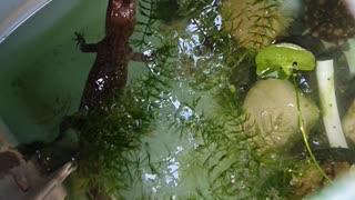 Baby fresh water crocodile
