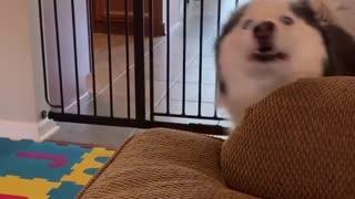 Husky teaching baby how to howl