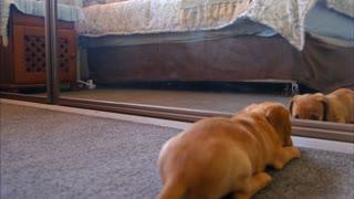 Lindo perrito jugando con su propio reflejo en casa