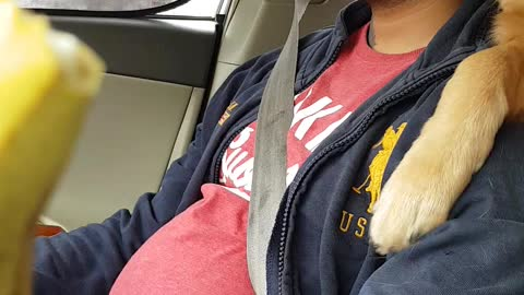 golden retriever want papa attention when he is driving
