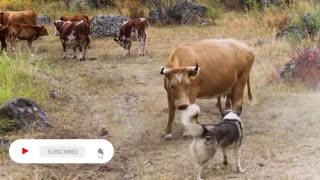 TOP 10 Most Dangerous Dogs on Earth