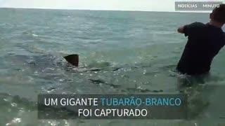Tubarão-tigre gigante é capturado durante pescaria