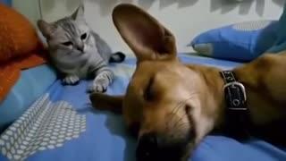 Poor dog snoring by kitten