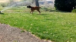 Mastiff attack