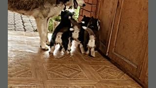 husky playing with his kids